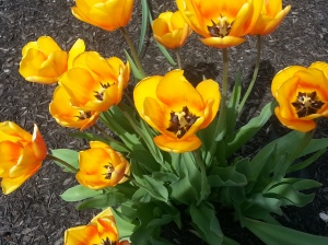 Close up on the tulips