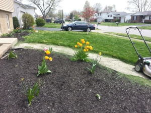Cleared out the flower beds in the fall after we moved.  A few tulips but mostly weeds were the only survivors.
